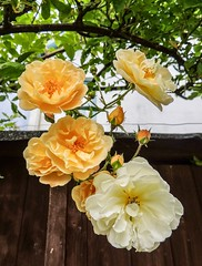 Peaches and Cream (daisyglade) Tags: garden roses peachesandcream wakeupandsmelltheroses onthefence hff summersolstice2019
