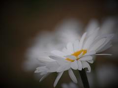 Marguerite (danielled61) Tags: marguerite été nuage blanc flower macro fleur jaune garden juin jardin coeur solstice douceur saison délicate vaporeuse élégance