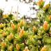 Orange pine cones