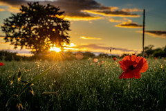 Poppy Sunset (Durham Stephen) Tags: