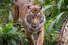 Diana (ToddLahman) Tags: diana sumatrantiger female outdoors tiger tigers tigertrail exhibitb sandiegozoosafaripark safaripark portrait photooftheday photography profileheadshot photographer mammal closeup nikond500 nikonphotography nikon
