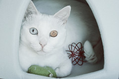 Playing mood.. (born to be an artist) Tags: pet cat white beauty friend
