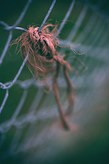 Frayed (Sarah Rausch) Tags: frayed string fence fencefriday sony macro bokeh depth chainlinked