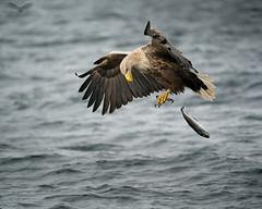 Ooops (Andy Davis Photography) Tags: iolairemhara eagle haliaeetusalbicilla flight fishing water sea loch iolairesuilenagrein theeaglewiththesunliteye bird sky wood landscape animal ocean sony