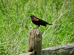 HFF! Red-winged Blackbird perched on a fence post (+1) (peggyhr) Tags: peggyhr redwingedblackbird fence post spring humberbaypark toronto ontario canada dsc02796 dedication red black yellow green photozonelevel1 photozonelevel2