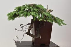 Norway Spruce Bonsai (Bri_J) Tags: rhs chatsworthflowershow2019 chatsworthhouse edensor derbyshire uk chatsworth flowershow nikon d7500 norwayspruce bonsai tree piceaabies pinaceae