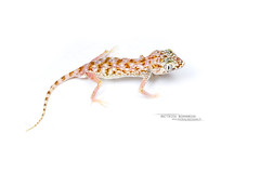 Stenodactylus doriae (Matthieu Berroneau) Tags: reptile lézard trip gecko blanc fond stenodactylus doriae israël sony alpha ff 24x36 macro nature wildlife animal fe sonya7iii sonya7mk3 sonyalpha7mark3 sonyalpha7iii a7iii 7iii 7mk3 sonyilce7m3 herp herping israel reptilian reptilia 90 f28 g oss fe90f28macrogoss sonyfesonyfe2890macrogoss objectifsony90mmf28macrofe sel90m28g lizard stenodactylusdoriae middleeasternshortfingeredgecko yeshimonittimmna middle eastern shortfingered yeshimonit timmna white fondblanc highkey high key hybrid textbook fondo blanco fondoblanco
