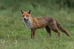 Red Fox (Glenn.B) Tags: nature animal mammal wildlife buckinghamshire fox grassland redfox vulpesvulpes britishfox
