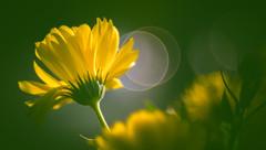 wildflower (Dhina A) Tags: sony a7rii ilce7rm2 a7r2 a7r trioplan 100mm f28 meyeroptiktrioplan100mmf28 meyeroptik meyer optik 15blades m42 circle bokeh bubble