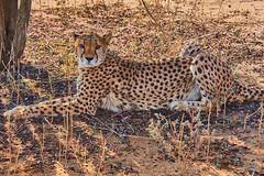 Gepard/Cheetah - Namibia (flowerikka) Tags: africa animal cheetah gras gepard namibia desertedge otjiwarongo wildlife cheetahconservationfund