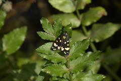 Scarlet tiger moth (Callimorpha dominula) (bramblejungle) Tags: scarlet tiger moth callimorpha dominula