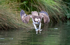 (Kath.Williams) Tags: osprey diving rutland mill horn uk farm trout gwash 28 2810