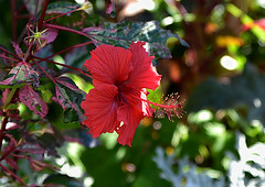 Red Hibiscus (Dreaming of the Sea) Tags: flowerscolors redflower bokeh hibiscus nikon tamronsp2470mmf28divcusd nikond7200 fridayflora depthoffield dof
