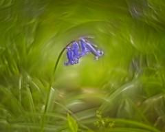 Bluebells in a dark wood (Roland B43) Tags: flowers bluebells wildehyacint wood bos petzvalbokeh swirly helios442 bulskampveld beernem belgium