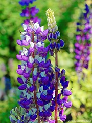 Lupine / Lupinus albus (Mike Reichardt) Tags: flower flowerpower farben farbenfroh france blume blüte blossom closeup colors colorful close nahaufnahme natur nature nah macro makro outdoor outside lupine lupinus