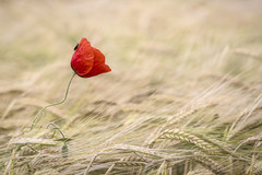 Out in Left Field (SkyeWeasel) Tags: france field poppy papaver wheat bug insect wheatfield flower plant farm countryside nature ngc npc
