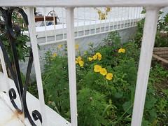 Friday Colours - A Fence on an Island (Pushapoze (MASA)) Tags: uk scotland isleofbute rothesay fence hff happyfencefriday flowers