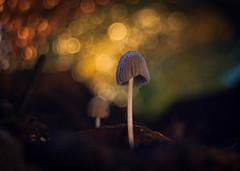 Secret World (ursulamller900) Tags: mushroom bokeh pilz tintling gewächshaus tessar2850 extensiontube 12mm makroring mygarden greenhouse