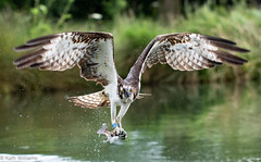 (Kath.Williams) Tags: hornmilltroutfarm osprey rutland 0109