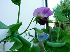 June 17th, 2019 Pea flower (karenblakeman) Tags: cavershamgarden caversham uk flower peaflower purple pink june 2019 2019pad reading berkshire
