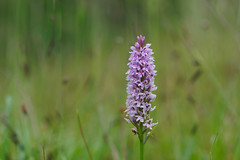 Common Spotted Orchid in the meadow - Dactylorhiza fuschii (favmark1) Tags: kent orchids kentorchids britishorchids wildorchids commonspottedorchids dactylrhizafuschii