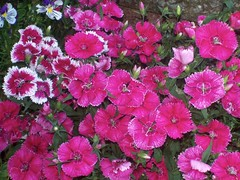 Pinks (Martha-Ann48) Tags: our garden flowers blossoms blooms summer pinks dianthus chinensis