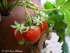 June 18th, 2019 Strawberries (karenblakeman) Tags: cavershamgarden caversham uk strawberries fruit food 2019 2019pad june reading berkshire