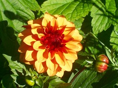 Beauty (Martha-Ann48) Tags: our garden flowers blossoms blooms summer dahlia firecracker orange