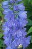 Blue heaven (Martha-Ann48) Tags: our garden flowers blossoms blooms summer delphinium blue