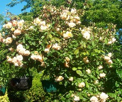 Smothered (Martha-Ann48) Tags: our garden flowers blossoms blooms summer rose arch buff beauty climber orange peach