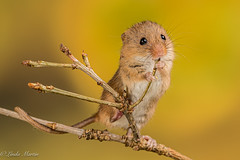 The Crooner! (Linda Martin Photography) Tags: uk hampshire micromysminutus animal wildlife mouse harvestmouse nature naturethroughthelens coth alittlebeauty coth5 ngc specanimal npc