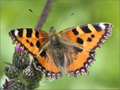 7E8C760E-49A3-4CE6-9C70-A6D92CE1E543 (engelsejann) Tags: 2019 voorjaar vlinder kleinevos