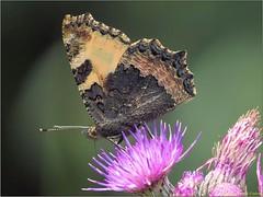 2EA24768-9E61-419B-AD93-6CC32C555665 (engelsejann) Tags: 2019 voorjaar vlinder kleinevos