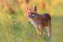 Red Fox / Volpe (Cristiano Tedesco) Tags: sunset fox wild nature mammals animal renard zorro