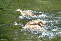 Canada Geese race on the lake (Bob Edwards Photography - Picture Liverpool) Tags: geese lake stream water pictureliverpool bobedwardsphotography summer sunshine nature birds action