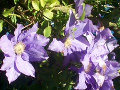 Gorgeous (Martha-Ann48) Tags: our garden flowers blossoms blooms summer daniel droned clematis mauve