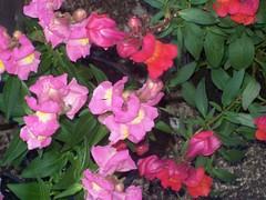 Snapdragons (Martha-Ann48) Tags: our garden flowers blossoms blooms summer snapdragons antirrhinum pink orange