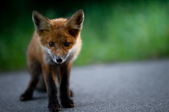 too close, humans are dangerous (robert.lindholm87) Tags: fox nature animal pup foxpup canon eos 1d 1dmarkiv sweden summer animals green lightroom road flickr wallpaper dof bokeh unsharp 200mm eyeofsauron