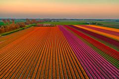 Orange lines are the most popular lines here in Holland. (Alex-de-Haas) Tags: dji dutch europa europe fc6310 holland nederland nederlands netherlands noordholland p4p phantom phantom4 phantom4pro aerial aerialphotography agriculture akkerbouw beautiful beauty bloemen bloemenvelden boerenland bollenvelden bulbfields farmland farming flowerfields flowers landbouw landscape landscapephotography landschaft landschap landschapsfotografie lente lucht luchtfotografie mooi polder pracht quadcopter schoonheid skies sky spring sundown sunset tulip tulips tulp tulpen zonsondergang warmenhuizen northholland