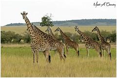 Tower of Giraffes! (MAC's Wild Pixels) Tags: towerofgiraffes giraffe giraffefamily giraffa maasaigiraffe worldgiraffeday animal mammal wildlife africanwildlife wildafrica wildanimal wildlifephotography safari gamedrive outdoors outofafrica nature naturephotography masaimara maasaimaragamereserve masaigiraffe kenya macswildpixels wildpixelsafaris munibachaudry endangeredspecies iucn coth alittlebeauty coth5 ngc npc