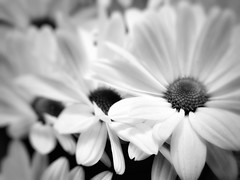 Line #softaesthetic (LAKAN346) Tags: softaesthetic focus bnw bw blackwhite contrast flowers nature natural bokeh dof samsung mobilephotography
