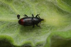 Baris analis - 18 VI 2019 (el.gritche) Tags: france 40 garden coleoptera curculionidae barisanalis pulicariadysenterica asteraceae