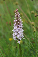 Meadow Common Spotted Orchid - Dactylorhiza fuschii (favmark1) Tags: kent orchids wildorchids britishorchids commonspottedorchids kentorchids dacrylorihzafuschii