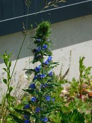 ....die Bienen und Hummeln lieben die Pflanze.... (elisabeth.mcghee) Tags: natternkopf echium vulgare blueweed pflanze plant blume flower blau blue unterbibrach oberpfalz upperpalatinate