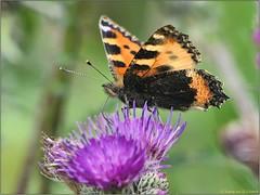 FF5AC0E8-3D1A-4694-A977-B595AC54F0C4 (engelsejann) Tags: 2019 voorjaar vlinder kleinevos