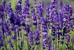 Lavender (Roi.C) Tags: flowers garden blossom nature season outdoor outside purple macro bokeh colors colours bright light digital photo sharp nikkor nikon d5300 europe composition flower 2017 green 18140mm hdr spring 2018 beautiful color colour lighting camera photography photograph view flowering