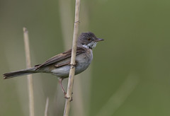 Whitethroat (Ann and Chris) Tags: whitethroat nature wildlife reed avian