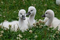 Cygneaux (Sam Photos with Sony native jpeg) Tags: cygnes lyon swan swans cygne river france couple cygneaux