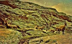 Schweiz, Rund um Zermatt, Matterhorn, 1983 ,Steinböcke,   76748/11629 (roba66) Tags: alpen alps switzerland urlaub reisen travel explore voyages rundreise visit tourism roba66 landschaft landscape paisaje nature natur naturalezza mountains montana mountain berge range felsen rock rocks matterhorn zermatt schweiz gebirge wild animals steinböcke steinbock tiere textur texture effecte palmsmountains 1983 dia