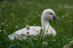 Cygne bébé = cygneau (Sam Photos with Sony native jpeg) Tags: cygnes lyon swan swans cygne river france couple cygneau